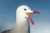 Heermanns gull portrait, La Jolla, California. USA. Image #36757