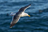 Western Gull in Flight, La Jolla. California, USA. Image #36834