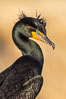 Double-crested cormorant nuptial crests, tufts of feathers on each side of the head, plumage associated with courtship and mating. La Jolla, California, USA. Image #36845