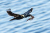 Brandt's Cormorant carrying nesting material, in flight as it returns to its cliffside nest. La Jolla, California, USA. Image #36873