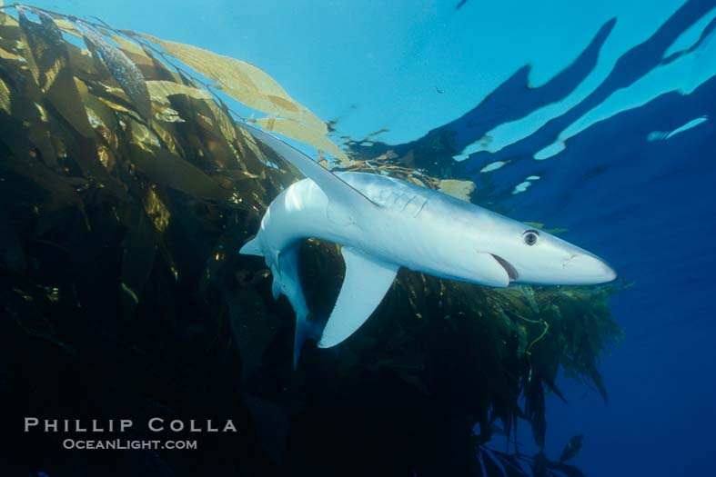 Stock Photo Gallery: Blue Shark Underwater Photographs
