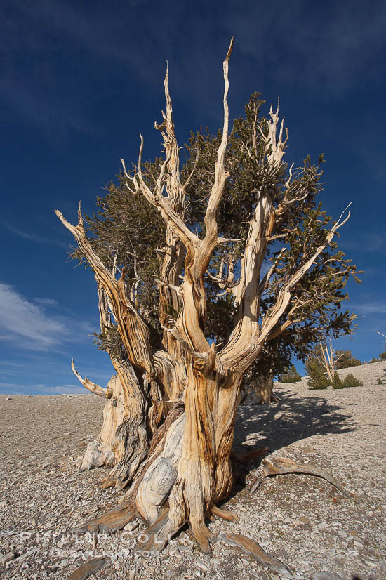 Photos of Ancient Bristlecone Pine Trees