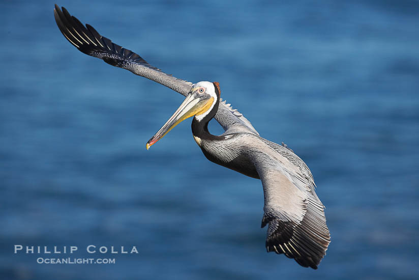 Photographing Pelicans at the La Jolla Cliffs