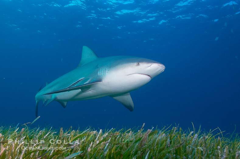 Bull Shark Pictures (Carcharhinus leucas)