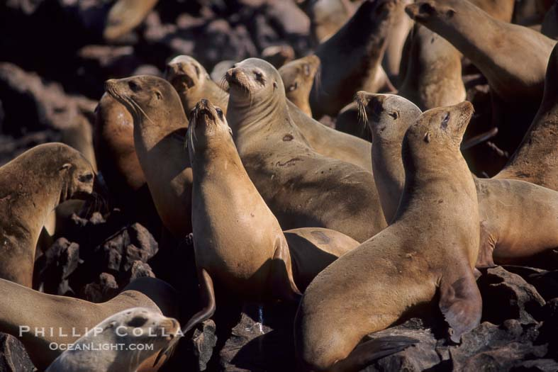 California Sea Lions, Baja California