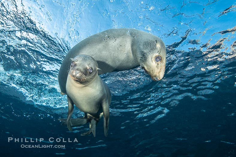 California Sea Lion Pups in the Coronado Islands