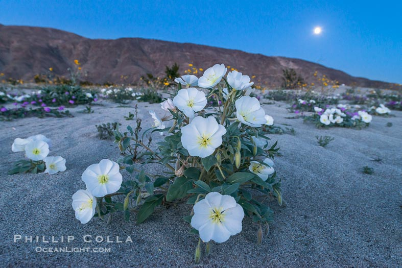 Moonflowers – Desert Wildflowers at Night