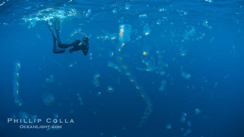 Salps, Pelagic Tunicates, Cyclosalpa Affinis