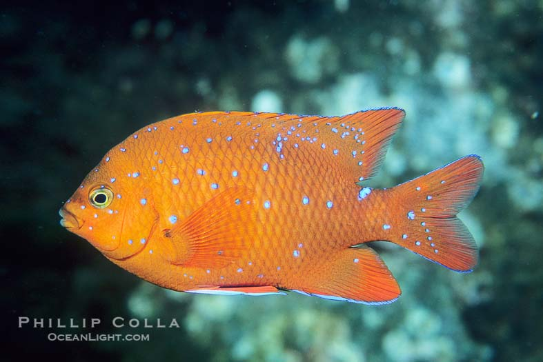 Garibaldi Fish, Coronado Islands, Mexico