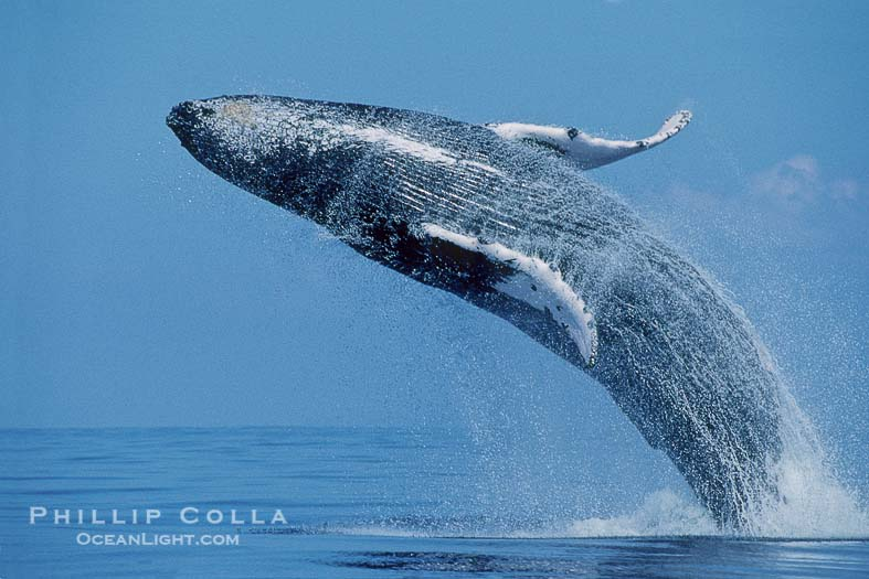 Humpback Whale Pictures (Megaptera novaeangliae)