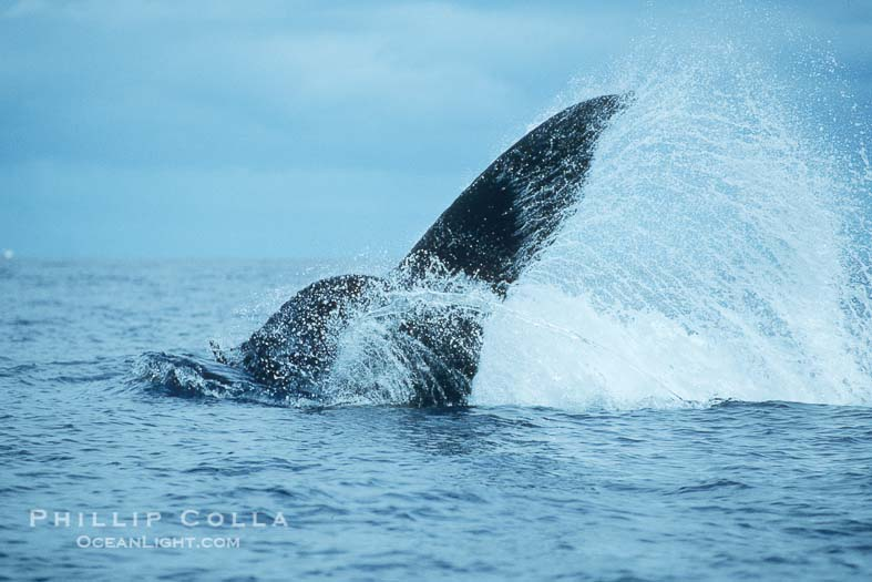 Photo of a Humpback Whale Tail Throw
