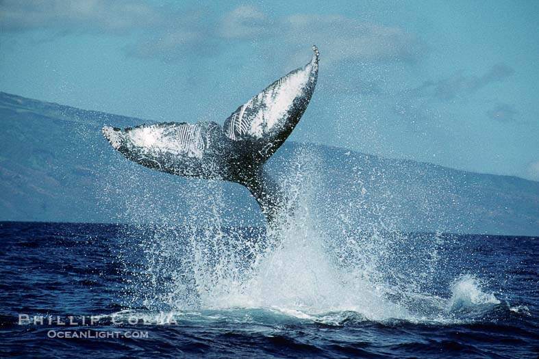 Photo of a Humpback Whale Peduncle Throw