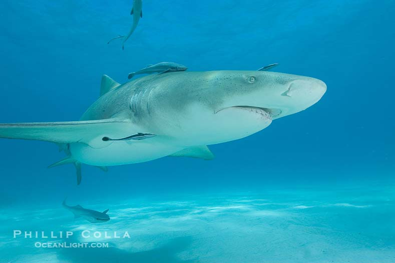 Lemon Shark Photo, Northern Bahamas
