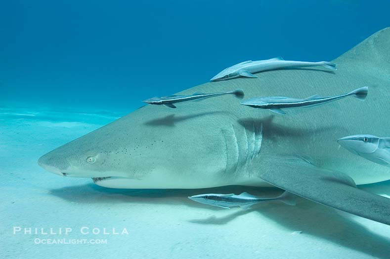 Lemon Shark Pictures (Negaprion brevirostris)
