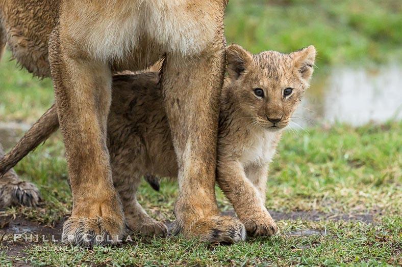 The Marsh Pride of Lions, Maasai Mara, Kenya