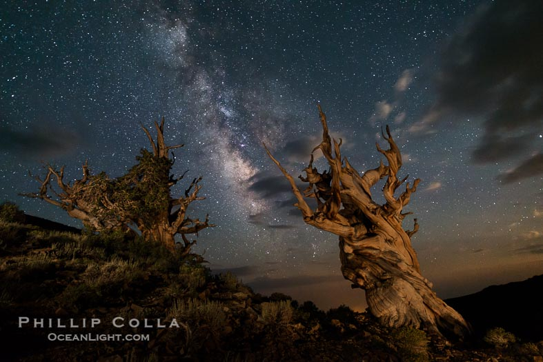 Ancient Bristlecone Pine Trees and the Night Sky Milky Way