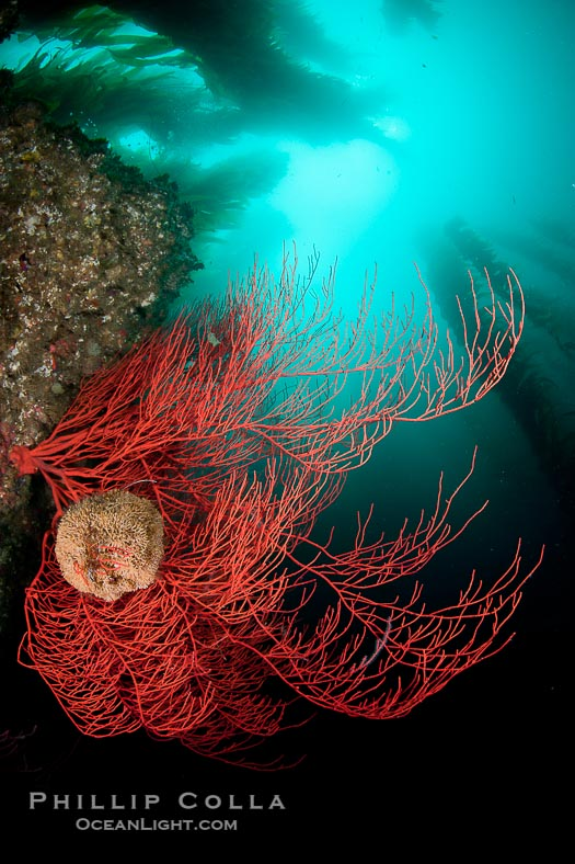 Sea Fans and Gorgonians at San Clemente Island