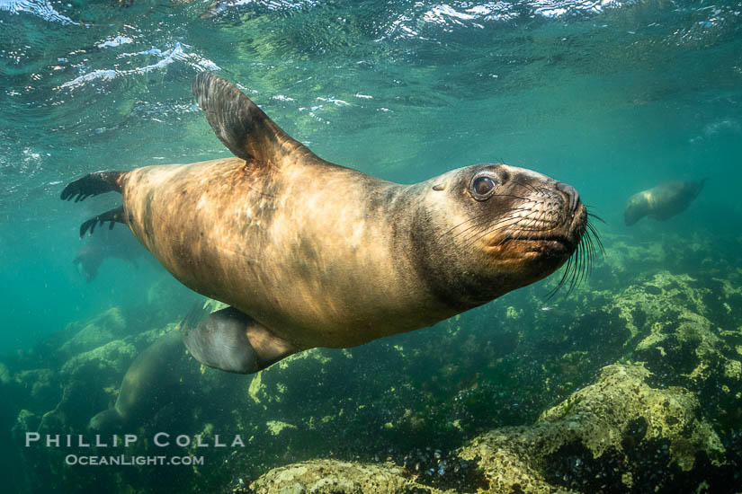 South American Sea Lion, Patagonia, Argentina