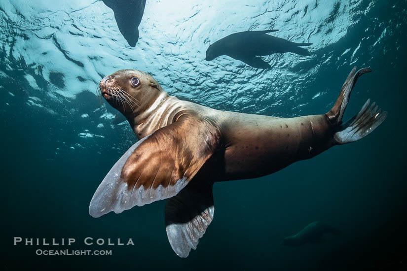 Underwater Photos of Steller Sea Lions, Eumetopias jubatus, British Columbia