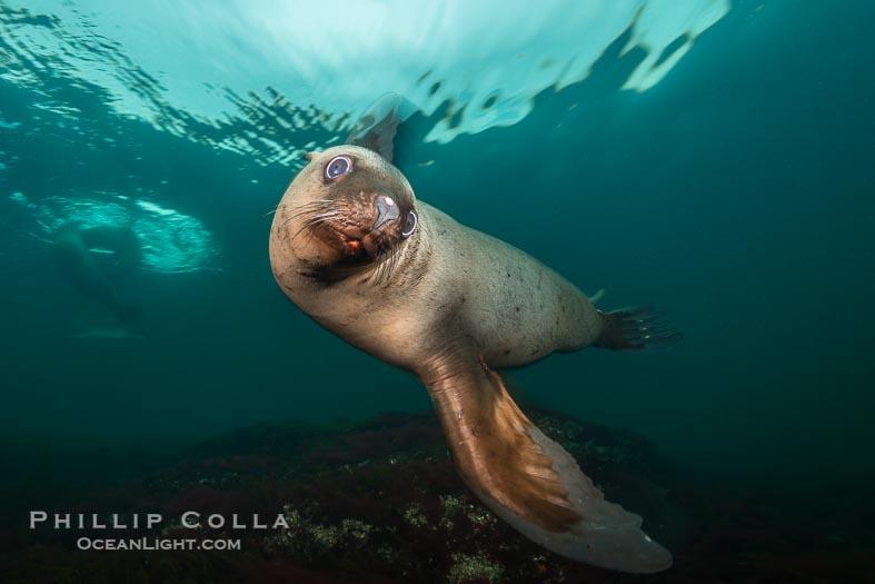 Steller Sea Lions, Eumetopias jubatus, Hornby Island, British Columbia