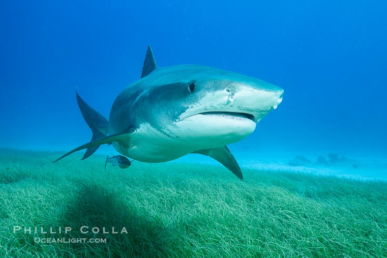 New Tiger Shark Photographs (Galeocerdo Cuvier)