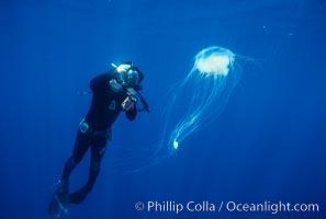 Fried egg jellyfish and freediving photographer Randy Morse, open ocean, San Diego, Phacellophora camtschatica, California (E. Pacific)