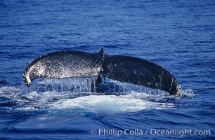 North Pacific humpback whale, fluke raised prior to dive, Megaptera novaeangliae, Maui