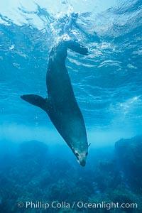Guadalupe fur seal, adult male, resting underwater, Guadalupe Island, Arctocephalus townsendi, Mexico (E. Pacific), Guadalupe Island (Isla Guadalupe)