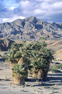 Seventeen Palms Oasis, Borrego Badlands. Anza-Borrego Desert State Park, Borrego Springs, California, USA, natural history stock photograph, photo id 05542