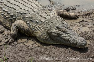 Nile crocodile, Maasai Mara, Kenya, Crocodylus niloticus, Maasai Mara National Reserve