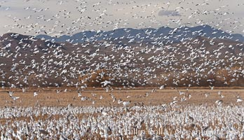 Image 26240, A flock of snow geese in flight. Bosque Del Apache, Socorro, New Mexico, USA, Chen caerulescens, Phillip Colla, all rights reserved worldwide. Keywords: anatidae, animal, animalia, anseriformes, aves, bird, bosque del apache, bosque del apache national wildlife refuge, bosque del apache nwr, caerulescens, chen, chen caerulescens, chordata, creature, flight, flying, geese, goose, national wildlife refuge, national wildlife refuges, nature, new mexico, new mexico, snow geese, snow goose, socorro, usa, vertebrata, vertebrate, wildlife.
