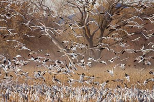 A flock of snow geese in flight. Bosque Del Apache, Socorro, New Mexico, USA, Chen caerulescens, natural history stock photograph, photo id 26251