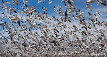 A flock of snow geese in flight, Chen caerulescens, Bosque Del Apache, Socorro, New Mexico