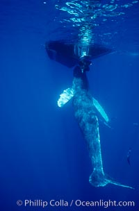 Humpback whale, abandoned calf alongside Hawaii Whale Research Foundation research boat. This young calf lived only a few days after being abandoned or separated from its mother, and was eventually attacked by tiger sharks, Megaptera novaeangliae, Maui