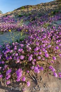 Sand verbena carpets sand dunes and washes in Anza Borrego Desert State Park.  Sand verbena blooms throughout the Colorado Desert following rainy winters, Abronia villosa, Anza-Borrego Desert State Park, Borrego Springs, California