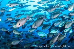 Acanthurus mata, Elongate or yellowmask surgeonfish, Fiji