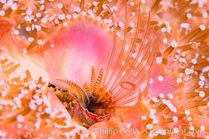 Acorn Barnacle extends to feed in ocean current, amid colony of Corynactis anemones, Corynactis californica, Megabalanus californicus, San Diego, California