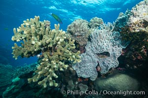 Acropora and Sarcophyton corals on Tropical reef, Fiji. Acropora coral (left) and Leather Coral (right), Sarcophyton, Vatu I Ra Passage, Bligh Waters, Viti Levu  Island