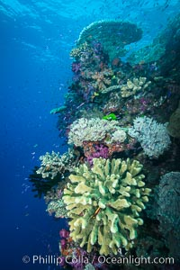 Acropora coral (foreground) on South Pacific Coral Reef, Fiji, Namena Marine Reserve, Namena Island