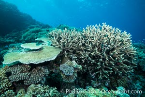 Acropora table coral (left) and Staghorn Coral (Acropora palifera, right) on pristine tropical reef. Table coral competes for space on the coral reef by growing above and spreading over other coral species keeping them from receiving sunlight, Acropora palifera, Wakaya Island, Lomaiviti Archipelago, Fiji
