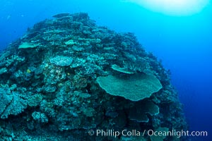 Acropora table coral on pristine tropical reef. Table coral competes for space on the coral reef by growing above and spreading over other coral species keeping them from receiving sunlight. Wakaya Island, Lomaiviti Archipelago, Fiji, natural history stock photograph, photo id 31549