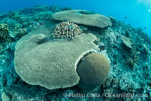 Acropora table coral on pristine tropical reef. Table coral competes for space on the coral reef by growing above and spreading over other coral species keeping them from receiving sunlight, Wakaya Island, Lomaiviti Archipelago, Fiji