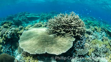 Acropora table coral on pristine tropical reef. Table coral competes for space on the coral reef by growing above and spreading over other coral species keeping them from receiving sunlight. Wakaya Island, Lomaiviti Archipelago, Fiji, natural history stock photograph, photo id 31762