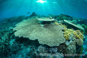 Sunset light and acropora table coral on pristine tropical reef. Table coral competes for space on the coral reef by growing above and spreading over other coral species keeping them from receiving sunlight, Wakaya Island, Lomaiviti Archipelago, Fiji