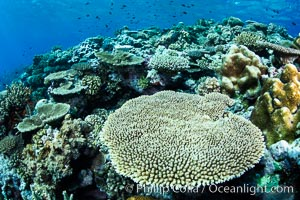 Acropora table coral on pristine tropical reef. Table coral competes for space on the coral reef by growing above and spreading over other coral species keeping them from receiving sunlight. Fiji, natural history stock photograph, photo id 34939