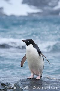 Adelie penguin, on rocky shore, leaving the ocean after foraging for food, Shingle Cove, Pygoscelis adeliae, Coronation Island, South Orkney Islands, Southern Ocean