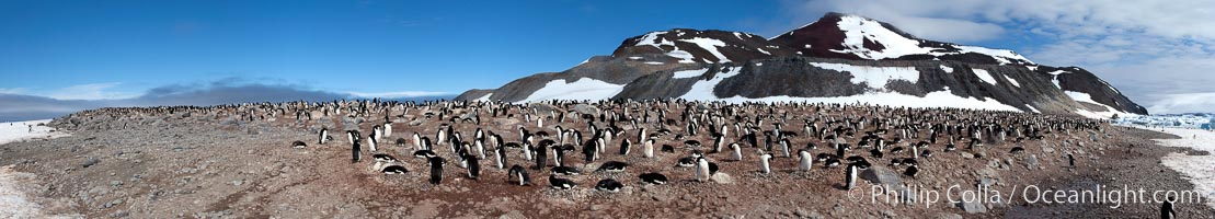 Panorama of adelie penguins at Paulet Island, Pygoscelis adeliae