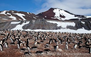 Adelie penguins, nesting, part of the enormous colony on Paulet Island, with the tall ramparts of the island and clouds seen in the background. Adelie penguins nest on open ground and assemble nests made of hundreds of small stones, Pygoscelis adeliae