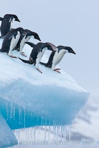 Adelie penguins. Brown Bluff, Antarctic Peninsula, Antarctica, Pygoscelis adeliae, natural history stock photograph, photo id 26377