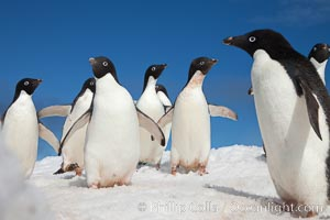 A group of Adelie penguins, on packed snow. Paulet Island, Antarctic Peninsula, Antarctica, Pygoscelis adeliae, natural history stock photograph, photo id 25021